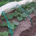 2008 05 28 Mes courgettes et potirons sous la mini serre