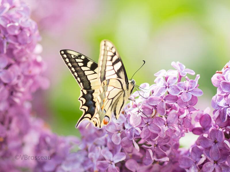 papillon-machaon01
