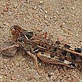Criquet marocain • Dociostaurus maroccanus • Famille des Acrididae