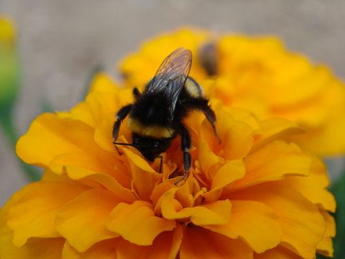 2008 08 04 Une abeille qui butine une fleur d'oeillet d'Inde
