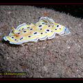 Nudibranche , Chromodoris geminus