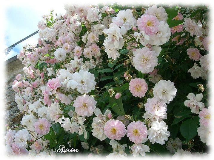 Roses roses pâles