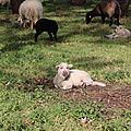 Suites des moutons de <b>Carnac</b>