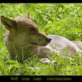 wolf_1794ps[1]
