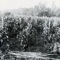 La dernière vigne de Vulbens, à Faramaz, vers 1990