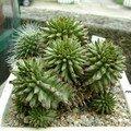 Euphorbia suzannae