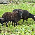 Les moutons d'ouessant