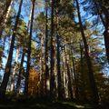 2009 10 30 Au milieu des Pins près de Salcrupt au bord du chemin