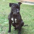 Athos, 7 ans, croisé <b>bull</b> <b>terrier</b> (RP)