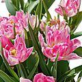 Tulipa murillo 'Peach Blossom'
