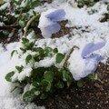 2008 04 14 Les pencées sous la neige