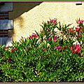 Laurier rose 2506153