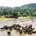 Pinnawela - Orphelinat d'éléphants