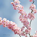 Eblouisssement des cerisiers du japon ....