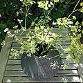 Bouquet de fenouil (2)