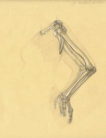 Ostéologie du bras 11 (Vue interne)