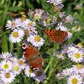 2008 09 27 Deux papillons