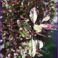 Pittosporum : feuillage décoratif et persistant