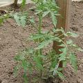 2008 05 13 Un plant de tomates Rose de Berne sous serre