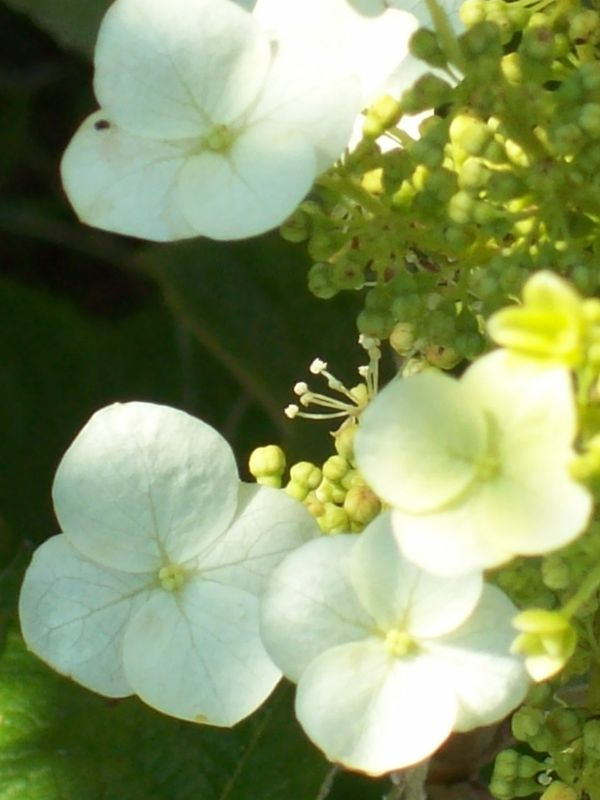 Hortensia feuille de chêne