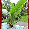 Cardiocrinum giganteum et les mulots du jardin