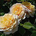 Rosa 'english garden'