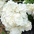 Hortensia - Hydrangea macrophylla Wedding Grown Dancing Snow