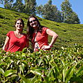 Munnar : plantations de the