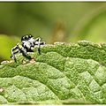 Philaeus chrysops : araignée sauteuse