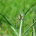 Une araignée au bel habit aposématique...