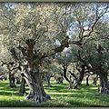 Vieux oliviers (Var)