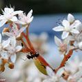 Fourmi noire des jardins • Lasius niger • famille des Formicidae