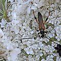 Stenopterus ater • Famille des Cerambycidae