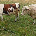 vache france