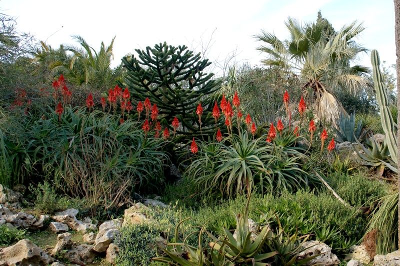 aloe arborescens jardin de hyeres nature faune. Black Bedroom Furniture Sets. Home Design Ideas