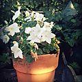 Jardin blanc...
