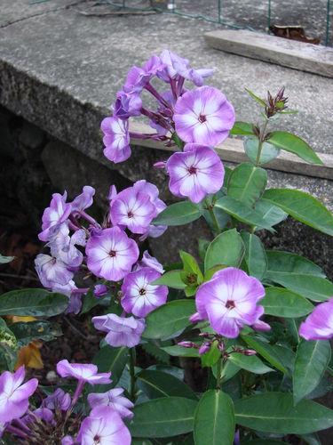 2008 09 16 Mes phloxs en fleurs
