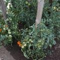2009 07 01 Quelques plants de tomates sous serre
