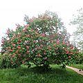 Beaux les marronniers roses !