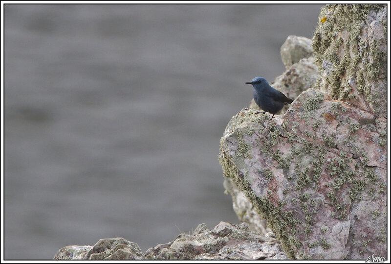 Monticole bleu (Monticola solitarius)