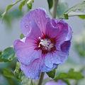 Fleur d'ibiscus après la pluie....