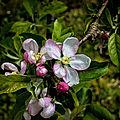 Pommier en fleur avril 2018