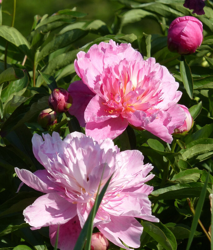 pivoine bowl of beauty