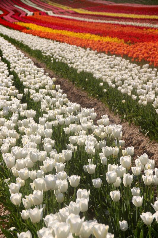 tulipes_vagues
