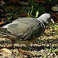 Pigeon34