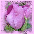 rose envoi2_modifié-1