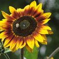 2008 09 09 Une fleur de tournesol en mélange