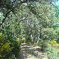 Forêt de Cadarache en fleurs printemps 2015 - Forêt de Provence, forêt de chênes