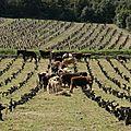 vaches in vignes