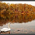 White swan and autumn colours
